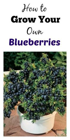 Blueberry bushes seem to pop up everywhere in GA and are pretty simple to grow. Here are some ways you can grow them in a planter. Blueberry bushes seem to pop Fruit Garden, Edible Garden, Garden Plants, Potager Garden, Veg Garden, Growing Vegetables, Growing Plants, Organic Gardening, Gardening Tips
