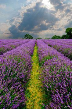 Lavender field in #France