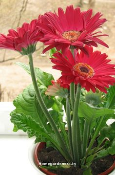 Gerbera Daisy Guide - The Only Gerbera Daisy Resources You Will Ever Need - Home Gardeners Gardenia Plant, Office Flowers, Planting Flowers, Plants, Gerbera Plant, Perennial Flowering Plants, Gerbera Daisy, Beautiful Flowers, Indoor Plants