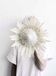 giant white king protea