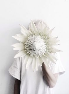 giant white king protea