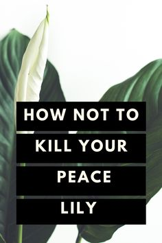 How not to kill your Peace Lily - Care Guide How not to kill your Peace Lily - Plant Care Guide Inside Plants, Cool Plants, House Plant Care, House Plants, Indoor Herbs, Plants Indoor, Indoor Gardening, Air Plants, Gardens