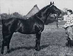 Cottage Son, TB stallion very influential in warmblood pedigrees.