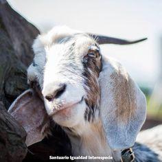 Hagamos del mundo un lugar más justo para los animales.   El mundo entero está comenzando a conocer los horrores de la industria de la explotación animal a través del trabajo de investigadores encubiertos y organizaciones que defienden a los animales. Sin embargo aún muchos desconocen el otro lado: lo maravillosos que son los animales de granja cuando viven en un ambiente de libertad y respeto.  La cara de Agustín lo dice todo: Cambiamos el miedo por la alegría la esclavitud por la libertad…