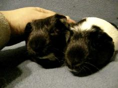 Happiness is...the sound guinea pigs make