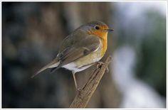 Roodborst - Robin #metgeluid
