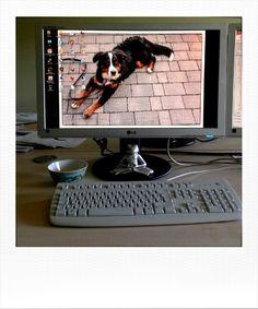 Mein Arbeitsplatz mit Super Hündin Soraya als Desktophintergrund. Portfolio, Digital Photography, Super, Monitor, Electronics, Pictures, Computer Wallpaper, Workplace, Consumer Electronics