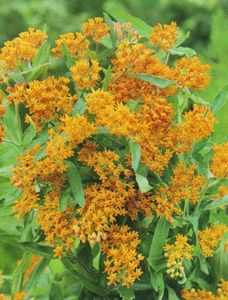 Butterfly weed - butterfly friendly. Drought tolerant.