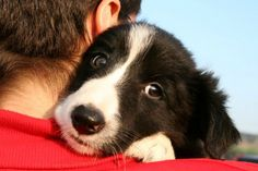 17 Things All Border Collie Owners Must Never Forget - Remember that I'll never forget how you treat me. Teach me that humans are made of love, not pain. And don't ever let me forget it.