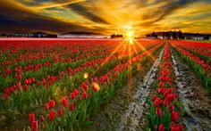 The tulip fields of La Conner, Washington. Tulips basking in the rays of the sunrise. Is this available as a poster? La Conner Washington, Washington State, Field Wallpaper, Tulip Festival, Tulip Fields, Landscape Lighting, Botanical Gardens, Beautiful World, Amazing Photography