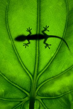 Green Gecko Had one in my room on Johnston Atoll...locals believe they bring good lucj