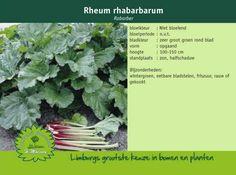 Rabarber - Rheum rhabarbarum