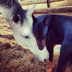 Scary animals, animals and pets, cute animals, horses and dogs, dog Scary Animals, Animals And Pets, Cute Animals, Funny Animals, Doberman Pinscher Blue, Doberman Love, Horses And Dogs, Dogs And Puppies, Beautiful Horses