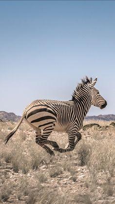 Zebra in the Namib desert, by Angola Image Bank™ | Kodilu, Lda. / 500px
