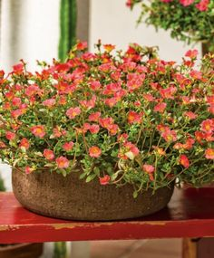 Colorful, easy to grow, and extremely drought tolerant, what more could you ask for? Mojave Pink will delight all summer long! Portulaca Flowers, Portulaca Grandiflora, Planting Flowers, Flowering Plants, Unique Plants, Cool Plants, Succulent Landscaping, Landscaping Tips, Flower Words