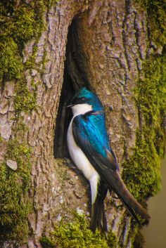Tree Swallow by John Williams.  Winters in Mexico and the Carribean.