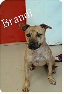 Ozark, AL - Bulldog/Terrier (Unknown Type, Medium) Mix. Meet Brandi, a dog for adoption. http://www.adoptapet.com/pet/15257239-ozark-alabama-bulldog-mix