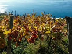All You Need to Know About the Cinque Terre: Cinque Terre Vineyeards