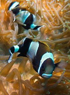 Wide-band or blue-lip anemone fish (Amphiprion latezonatus) at South West Rocks, NSW, Australia, by Rowland Cain Underwater Creatures, Underwater Life, Beautiful Sea Creatures, Animals Beautiful, Fish Breeding, Photo Animaliere, Life Under The Sea, Salt Water Fish, Water Animals