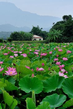 Lily pads in bloom.