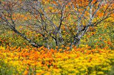 Namaqualand in fiore, il miracolo della primavera australe