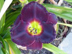 Daylily/Hemerocallis 'Jamaican Midnight'  (Salter, 1994).  Intense black purple flowers with a small green heart.