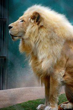 All golden lion