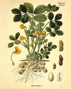 Peanut art antique kitchen art print botanical by VictorianWallArt