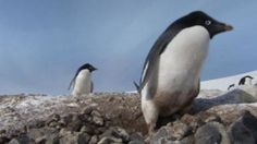 criminal penguin:  http://www.discovery.com/tv-shows/frozen-planet/videos/penguins/