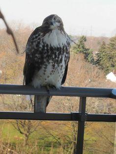 Hometalk :: A juvenile red tail hawk on a porch. Very pretty