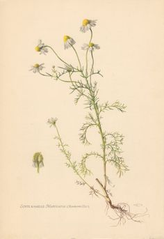 botanical drawing chamomile - Google Search
