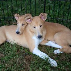 Cutie pie Smooth Collie puppies (ears in training).
