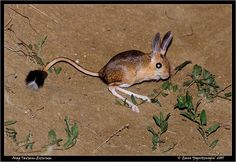 The Gobi Jerboa is a species of rodent in the Dipodidae family. It is found in China and Mongolia. Its natural habitats are temperate grassland and temperate desert.