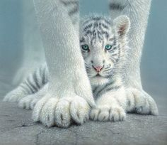 Wildlife art prints reproduced from artist Collin Bogle's original wildlife paintings. Hand signed open and limited edition giclées printed on quality archival paper or canvas. Animals include bears, birds, big cats, wolves and more! Baby White Tiger, White Tiger Cubs, White Tigers, White Lions, Wildlife Paintings, Wildlife Art, Cat Paintings, Cute Kittens, Cats And Kittens