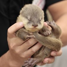 Tiny otter pup is four days old - November 2, 2012