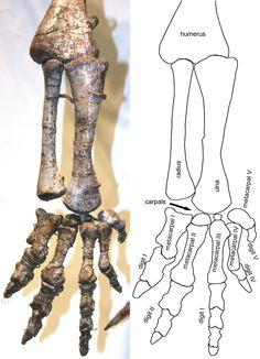 "Plateosaurus_arm_and_hand.jpg (2598×3598) - Bras inférieure gauche et main de P. engelhardti von Meyer, 1837, surnommé ""Skelett 2"", provenant de Trossingen en Allemagne et exposés au Institite for Geosciences of the Eberhard-Karls-University Tübingen, en Allemagne. Dinosauria, Saurischia, Eusaurischia, Sauropodomorpha, Prosauropoda, Plateosauria, Plateosauridae. Auteur : FunkMonk, 2010."