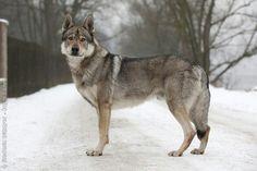 Loyalty. Or wolfdog.