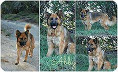 Fallbrook, CA - German Shepherd Dog. Meet Abby, a dog for adoption. http://www.adoptapet.com/pet/13610519-fallbrook-california-german-shepherd-dog