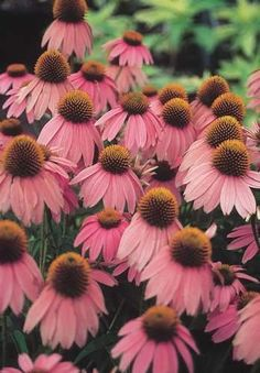 Dwarf Purple Coneflower - Echinacea purpurea 'Kim's Knee High' PP 12,242 - Dwarf Purple Coneflower
