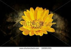 #New on #Shutterstock...  #Beautiful #Sunflower with #Dark #Brown #Background