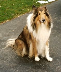 Collie. They are members of the herding group. They are great herders and drovers. They stand at 22-26 inches at the shoulder and weigh about 55-75 pounds. Winner (Rough): 1929.