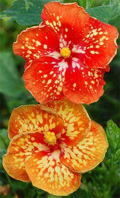 hibiscus flower benefits in tamil Hibiscus Tree, Hibiscus Plant, Hibiscus Flowers, Tropical Flowers, Lilies Flowers, Cactus Flower, Rare Flowers, Exotic Flowers, Amazing Flowers