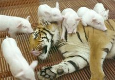 Mom tiger given piglets to replace her dead cubs