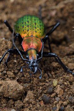 SO cooll Coptorabrus smaragdinus