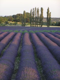 Lavender Field and Cypress Trees,visit my site at http://www.youngliving.org/nursecawthra to order or email me at Nursecawthra0811@gmail.com. My member number is 1577841 when ordering.