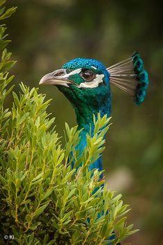 "chasingrainbowsforever: ""Peacock """