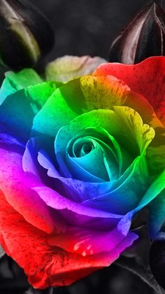 Rain Rainbow Ambizu The Rarest Rain Rainbow Colorful Rose Seedling Flower Seeds Professional Pack 50 Seeds >>> Be sure to check out this awesome product. Wallpaper Images Hd, Hd Cool Wallpapers, Best Flower Wallpaper, Rose Wallpaper, Watch Wallpaper, Wallpaper App, Rose Background, Rainbow Background, Background Images