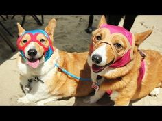 What The World's Largest Corgi Gathering Is Like..this is just too cute!!!