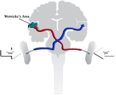A illustration of how the brain processes sound.