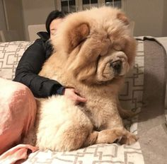 ➵ 𝓛𝓸𝓻𝓪 𝓟𝓮𝓪𝓬𝓱 ˎˊ˗ Cute Baby Dogs, Cute Dogs And Puppies, Big Dogs, Doggies, Big Fluffy Dogs, Tiny Puppies, Fluffy Puppies, Cockapoo Puppies, Giant Dogs